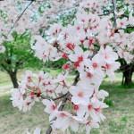 桜の撮影ヘアメイク